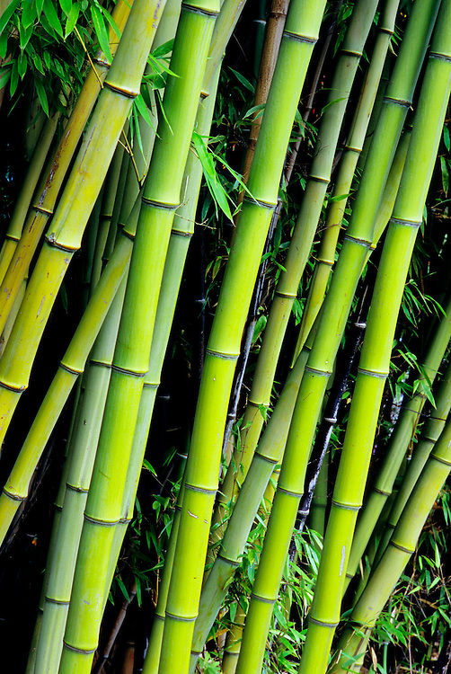 Stalks of phyllostachys viridis, bamboo, in  Large Quarry Garden, Queen Elizabeth Park, Vancouver, BC.