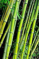Stalks of phyllostachys viridis, bamboo, in  Large Quarry Garden, Queen Elizabeth Park, Vancouver, BC.