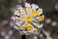 Edgeworthia chrysantha (E. papyrifera) in spring bloom
