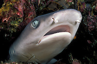 This White-tip Reef Shark, Triaenodon obesus, apparently feels so secure in the crevice it is wedged into that it allowed the photographer to approach within a few inches. Western Rocky, Mergui Archipelago, Myanmar/Burma, Andaman Sea. filename: wtrs16