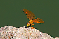 304570003 a wild mexican amberwing dragonflyperithemis intesa perches on a rock near el centro imperail county california united states