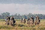 Mahout and Asian Elephants carrying tourists, Elephas maximus, Kaziranga National Park, Assam, India, World Heritage & IUCN Category II Site, tourism, domestic.India....