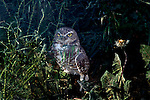 Owls - Burrowing