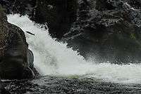 Salmon jumping in Gaula river,Norway