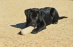 Black Labrador puppy playing with a bumper