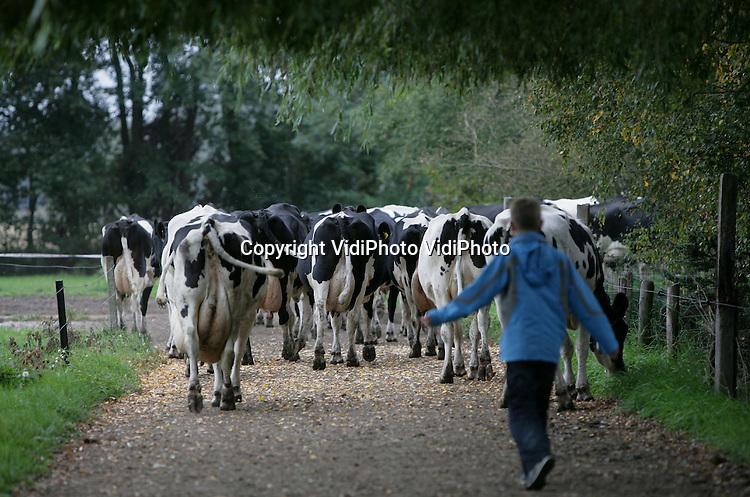 Foto: VidiPhoto..WOUDENBERG - Bij melkveehouder Henk Haanschoten uit Woudenberg wordt iedere ochtend en middag de familie ingeschakeld om de melkkoeien veilig in stal te krijgen. Op dit moment grazen de dieren in een weiland aan de overzijde van de straat waar auto's behoorlijk hard rijden. Dankzij de lage melkprijzen staan er op dit moment in Nederland meer koeien in de wei dan ooit. Weidegang betekent in de praktijk vaak dat de koeien geen gebruik kunnen maken van de melkrobot. Dus is er minder melkopbrengst. Grazen betekent echter ook besparing van voer en een (vaak) betere gezondheid van het vee. Daardoor is het nu minder 'duur' om de koeien naar buiten te sturen.
