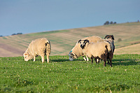 Sheep grazing, Gloucestershire, England