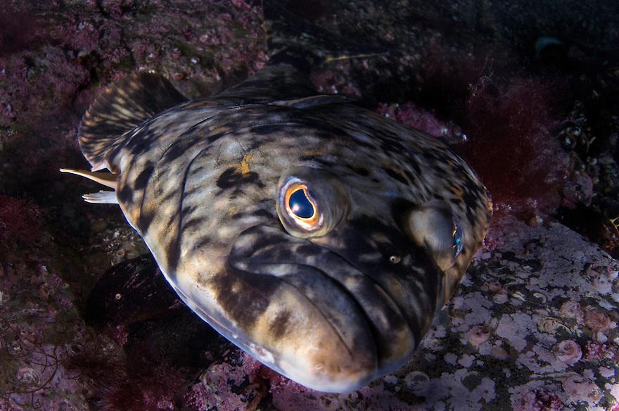 Atlantic halibut, Hippoglossus hippoglossus.Atlantic marine life, Saltstraumen, Bodö, Norway