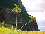 Coconut Palms, Lord Howe Island