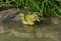 510440046 a wild female painted bunting passerina ciris bathes in a small pond on a private ranch in the coastal bend area of texas