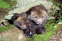 two red fox kits (vulpes fulva) peer out of den, 3 wks old