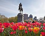 Tulips in the Boston Public Garden, Boston, MA, USA