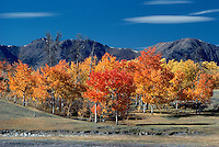 Trembling Aspen (Populus tremuloides) Trees and the Coast Mountains in the Cariboo Chilcotin Region, British Columbia, Canada, in Autumn