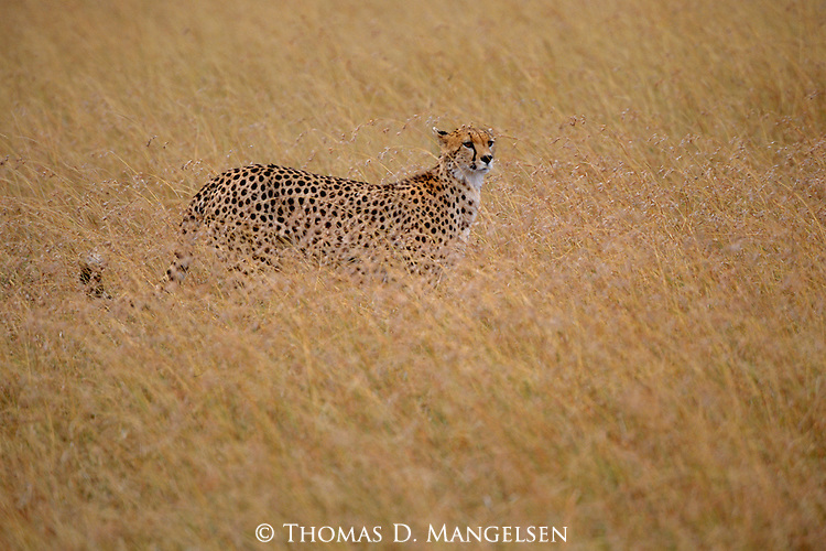Acting as a screen, the tall grass in Aitong Hills, Kenya helps conceal the cheetah until it is close enough to display its strength of speed that will ultimately lead to a meal.