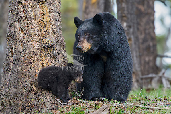 Black Bear (Ursus americanus) sow watches over young cub of the year (coy).  Western U.S., spring.
