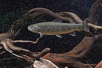 Bachsaibling, Bach-Saibling, Amerikanischer Saibling, Salvelinus fontinalis, brook trout, brook char, brook charr