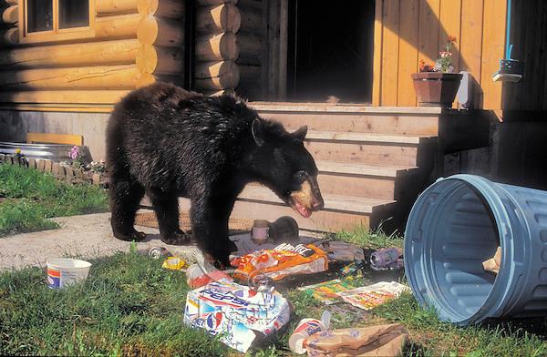 Black Bear (Ursus americanus) raiding garbage outside home. Rocky Mountains,  North America.