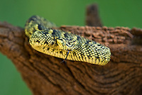 489550007 a captive usambara mountains eyelash bush viper atheris ceratophora sits coiled on a tree stump species is newly recorded and native to the usambara mountains of tanzania