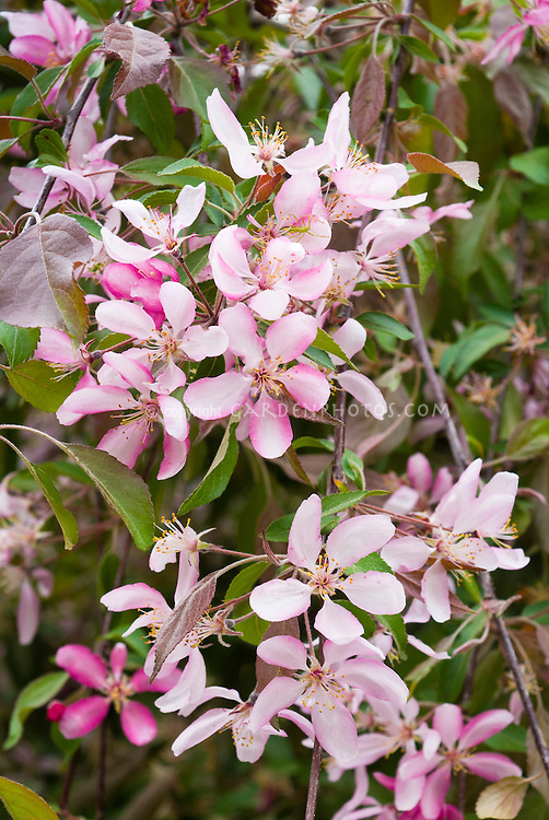 Malus crabapple fruit tree flowering in May, single pink and white