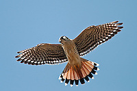 American Kestrel hovering in flight