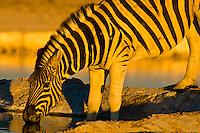 Zebra at a watering hole, Etosha National Park, Namibia