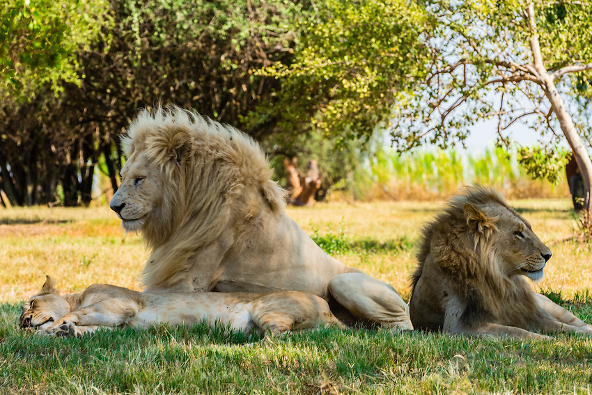 Pride of lions, Lion Park, near Johannesburg, South Africa. The white lion is a rare color mutation of the Timbavati region of South Africa.