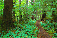 Old-Growth Forest at Cedar Flats, Mt. St. Helens National Volcanic Monument, Washington, US