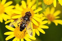 Lange Bienen-Schwebfliege, Lange Bienenschwebfliege, Männchen, Blütenbesuch auf Jakobs-Greiskraut, Eristalis pertinax, drone fly