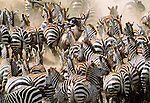 Zebra and wildebeest migration, Masai Mara National Park, Kenya