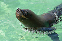 Male sea lion (Zalophus californianus wollebaeki) in ocean, Punta Cana, Dominican Republic