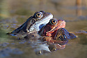 Three Common Frogs {Rana temporaria} in a mating ball amongst mass of spawn in a pond. Peak District National Park, Derbyshire, UK. March.