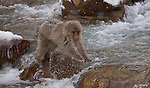 Japanese macaque, Nagano, Honshu Island, Japan