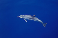 An Atlantic Spotted Dolphin, Stenella frontalis, cruises through water so calm that it appears suspended in blue sky. Apparently this individual is fairly young, as it is largely lacking the characteristic spots that become more pronounced with age.  Azores, Portugal, Atlantic Ocean.