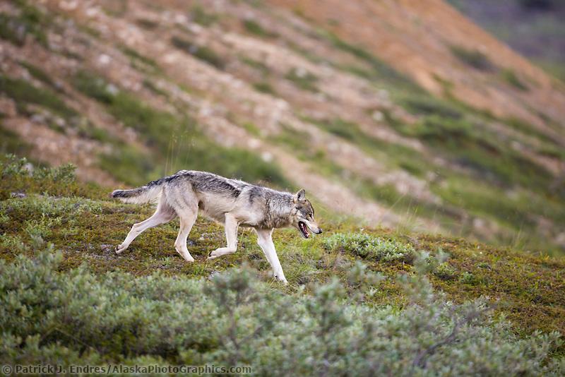 Gray wolf alpha female on the tundra of Denali National park, interior, Alaska.