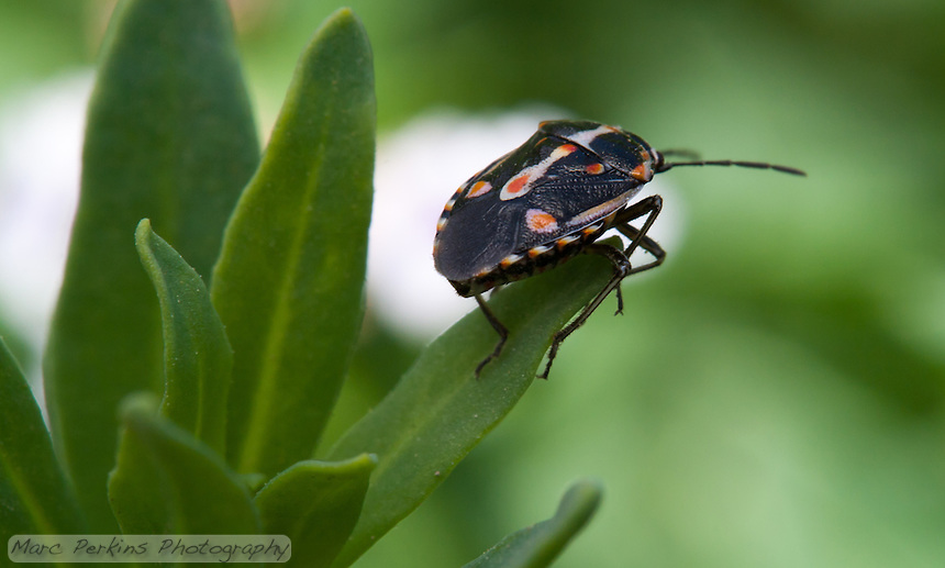 A black, orange, and white hemipteran (true bug) stands on the end of a green leaf looking away from the camera into the distance.