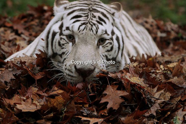 Foto: VidiPhoto..RHENEN - Tijgers blijken dol op parfum. Alles wat ruikt naar kattekruid en lavendel laat zelfs het gevaarlijkste roofdieren kroelen en spinnen. Dinsdag kregen de witte tijgers van Ouwehands Dierenpark in Rhenen een herfstverrassing met veel afgevallen bladeren, besprenkeld met de betreffende geurtjes en wat speelmateriaal verstopt onder de herfstbladeren. Doel is het speelgedrag van de dieren op een natuurlijke wijze te stimuleren.