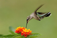 Black-chinned female and lantana flower..