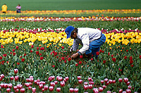 farm worker in colorful tulip field thinning bulbs. Oregon, Wooden Shoe Bulb Company.
