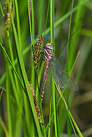 339600003 a wild teneral male shadow darner aeshna umbrosa perches on bogside water plants in central modoc county california