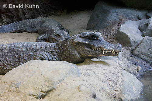 0311-1103  West African Dwarf Crocodile (Broad-Nosed Crocodile), Osteolaemus tetraspis  © David Kuhn/Dwight Kuhn Photography