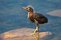 A fuzzy-headed juvenile green heron at the edge of a lake in Central Tallahassee, Florida.