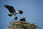 Osprey in nest, Florida