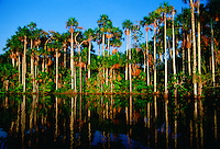 Palm trees reflected in the waters of Lake Sandoval, Peruvian Rainforest, South America