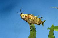 Rückenschwimmender Kongowels, Synodontis nigriventris, blotched upside-down catfish, upside down catfish