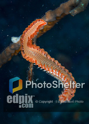 28 January 2016:  A Bristleworm (Eurythoe complanata) crawls along a piece of coral on the reef at Captain Don's Habitat in Bonaire. Bonaire is known for its pioneering role in the preservation of the marine environment. A part of the Netherland Caribbean Islands, Bonaire is located off the coast of Venezuela and offers excellent scuba diving, snorkeling and windsurfing.  Mandatory Credit: Ed Wolfstein Photo *** RAW (NEF) Image File Available ***