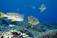 Sipadan, Sabah, Borneo, Malaysia, October 2010. Sweetlips over the coral reef. 36 kilometers from mainland Semporna lies the Island of Sipadan, one of the worlds most beautiful divesites. Since the island resorts were closed due to environtmetal issues, the resorts of Kapalai and Mabul have been the main basis for diving sipadan. Photo by Frits Meyst/Adventure4ever.com