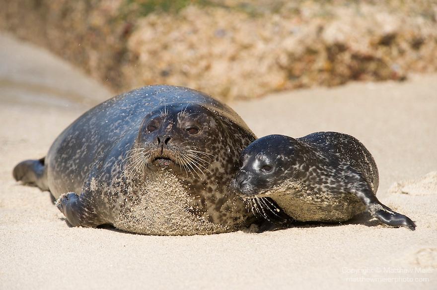 Children's Pool, La Jolla, California; a newborn Harbor Seal (Phoca vitulina) pup bonds with it's mother on a sandy beach