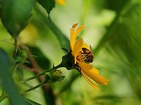 Foraging pollen and nectar on Senecio Vulgaris (old-man-in-the-Spring).