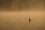 Slavonian grebe (Podiceps autitus) on misty lochan at dawn, Scotland.