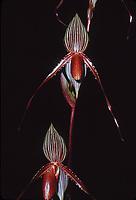 Paphiopedilum Susan Booth, orchid primary hybrid of rothschildianum x glanduliferum, 1983